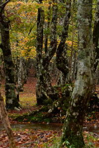 大台ケ原ブナの森 - 高原に行きたい