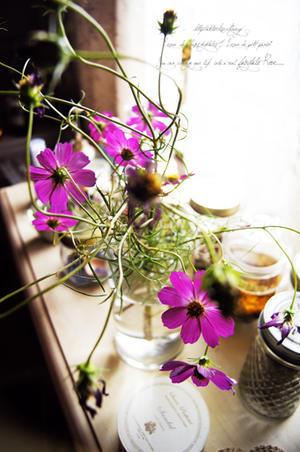 秋桜。 - 野の花薬草綴り帖