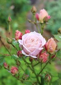 雨に濡れる美女軍団 - ペコリの庭 *