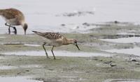 エリマキシギ - 私の鳥撮り散歩
