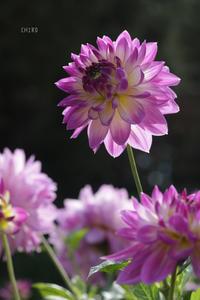 魅力たっぷり!ダリアの世界 - CHIROのお庭しごと