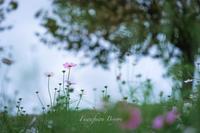 秋桜の咲く丘 ** - ふわふわ日和