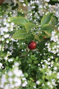 ヒメリンゴを救出せよ! - ペコリの庭 *