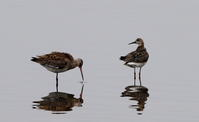 オグロシギの羽ばたきとエリマキシギ - 私の鳥撮り散歩