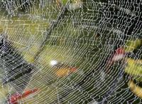 スター・リリーとスパイダー * Star lily & Spider web - ももさへづり*うた暦*Cent Chants d' une Chouette
