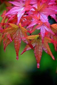 濡れ紅葉 - 写心食堂
