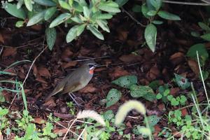 ノゴマ 隠れる - 野鳥公園