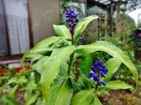 ジンジャ―リリー - だんご虫の花
