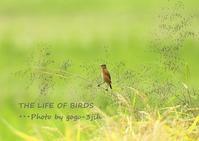 再び三度(苦笑)ノビタキの掲載です - THE LIFE OF BIRDS --- 野鳥つれづれ記