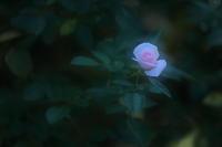 Aspirin Rose - kzking1963 Digital Photo Diary