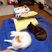 久しぶりに居間に布団 - ぶつぶつ独り言2(うちの猫ら2018)