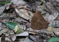 クロコノマチョウのもふもふ - 公園昆虫記