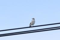 珍しい鳥さんに出会えた日~カラムクドリ・2~♪ - happy-cafe*vol.2