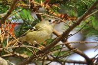 手強い相手、キクイタダキ ^^; - 北の大地で野鳥ときどきフライフィッシング
