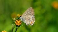 大型台風 - 紀州里山の蝶たち