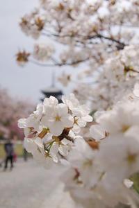 仁和寺 桜 - 京都デジカメ散歩