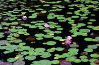 睡蓮の池 - 丹馬のきょうの1枚