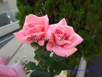 薔薇の写真 - 写真で楽しんでます!