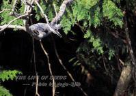 ヤマセミ、木漏れ日から飛び出し - THE LIFE OF BIRDS --- 野鳥つれづれ記