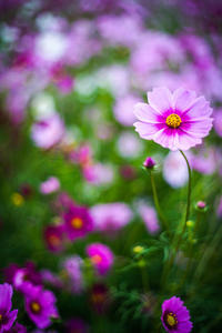 インパクト的『秋桜』 - 気ままに写生活