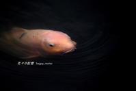 鯉の試し撮り・・ - 花々の記憶    happy_momo ID:v2buwp