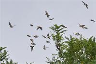 アトリが群れでやってきた@大阪府 - とことんデジカメ