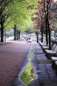 散歩コースの銀杏並木と赤い実と、サザンカ - 子猫の迷い道Ⅱ