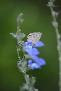 クロマダラソテツシジミ10月24日 - 超蝶