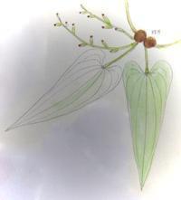 #植物スケッチ 『ヤマノイモ』 - スケッチ感察ノート
