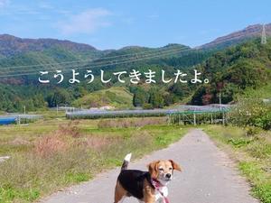 ビーグル犬・ビーズ2