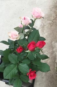だから和ばらは美しい!花の精、緑の精、土の精 - お花に囲まれて
