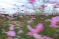 秋 桜 風 700系 - 新幹線の写真