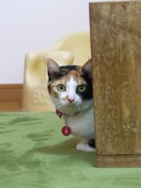 猫のお留守番 四季ちゃん編。 - ゆきねこ猫家族