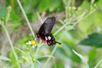 ベニモンアゲハなど石垣島の蝶(その5)終わり - 蝶のいる風景blog
