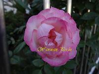 薔薇の写真撮りました。加工もしています。 - 写真で楽しんでます!