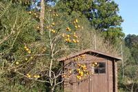 しぐれ時々施す:柿が収穫時期を迎えました。 - 週刊「目指せ自然農で自給自足」