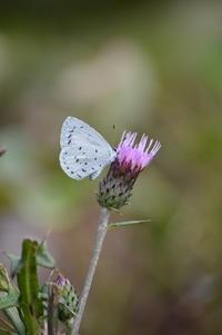 サツマシジミ10月27日 - 超蝶