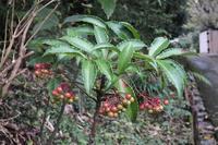 ■赤い実の成る木 (3)17.10.27(マンリョウ、ヤブコウジ、ウメモドキ) - 舞岡公園の自然2