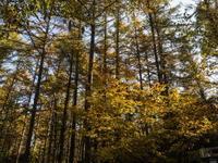 いよいよ、カンタベリー周辺のカラマツが紅葉し始めました。 - 十勝・中札内村「森の中の日記」~café&宿カンタベリー~