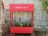 ドラゴンフルーツの成長 - connie's