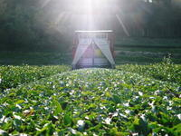 菊池水源茶 そろえて芽吹かせるための剪定作業 今年も有機栽培で育てます! - FLCパートナーズストア