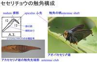 セセリチョウの触角雌雄差研究と行事予定 - 蝶鳥ウォッチング