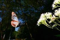 ヒヨドリバナとアサギマダラとイシガケチョウByヒナ - 仲良し夫婦DE生き物ブログ