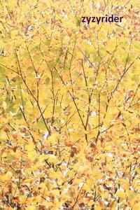 迷彩色のカツラの葉 - ジージーライダーの自然彩彩