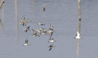 ハマシギの飛翔 - 私の鳥撮り散歩