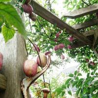 我が家の秋の風物詩 - みどりのある暮らし  【植物を取り入れてENJOY・EASY・ECOLOGYな3Eライフ☆】