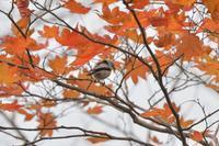 残り葉とシマエナガ - やぁやぁ。