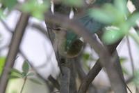 オオムシクイの地鳴き - 四十雀の欣幸 ~野鳥写真日記~