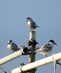 昨年の今ごろ撮影したものからです。。。 - cuccooの野鳥エトセトラ
