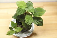 Homalomena sp. 'Capek-Ⅱのん' - PlantsCade -2nd effort